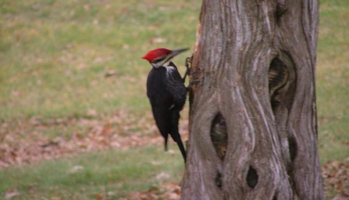 Peliated Woodpecker, November 25th, 2012, Woods Green Lake