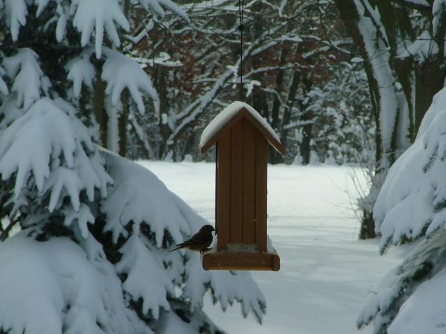 Pine Siskin, Winter in my backyard