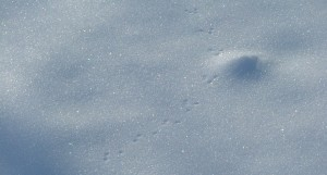 March 7th, 2013, geese, footprints in the snow 024