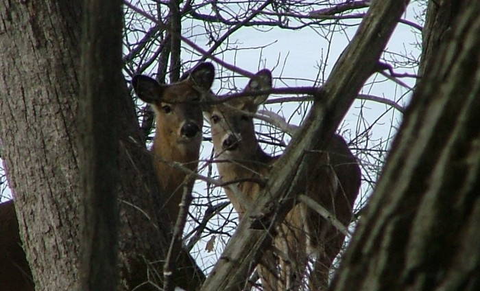 deer, March 25th, 2013