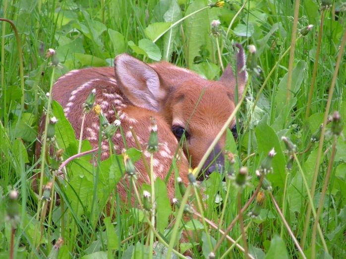 hiding deer 009