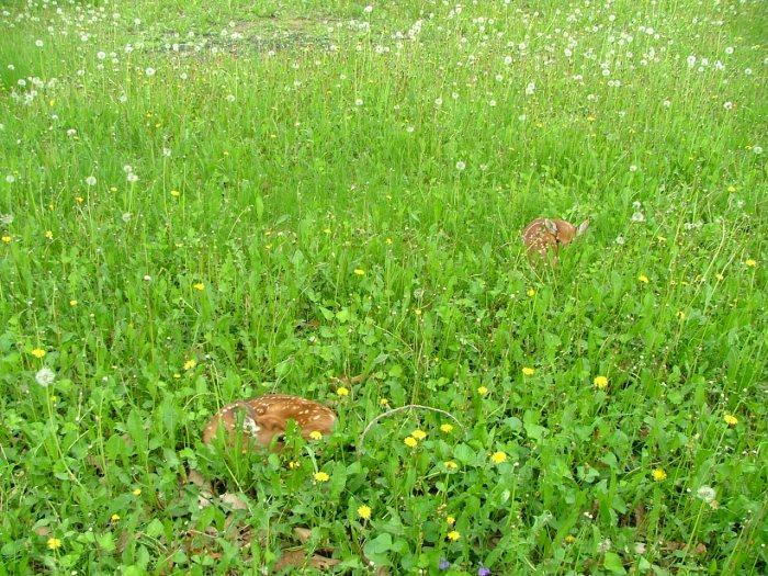 hiding deer 011