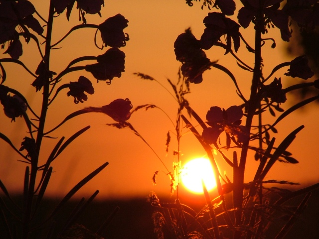 walk, July 19th, 2013, Germany, flowers, sunrise 015