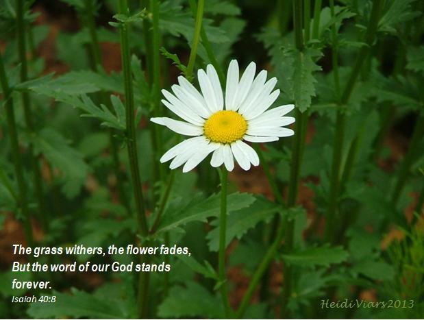 Daisy, Isaiah 40;8