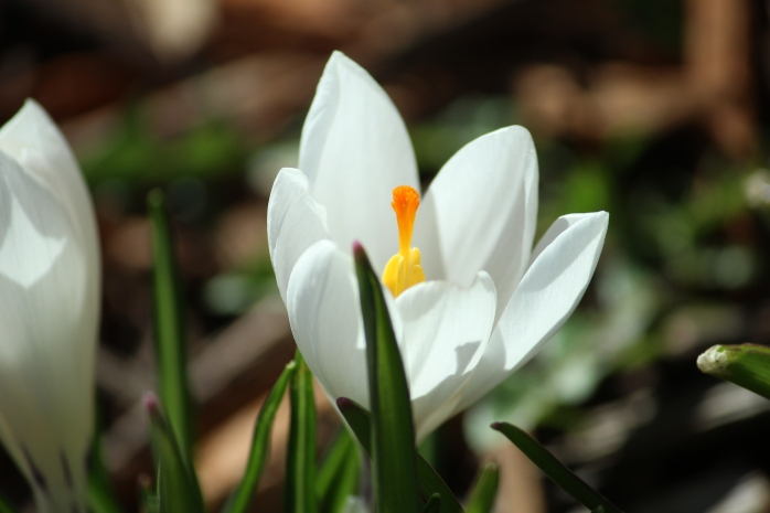 crocus april, 2015 005