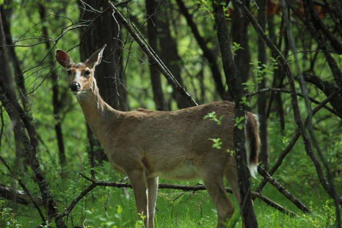 deer, spring morning, birds 026