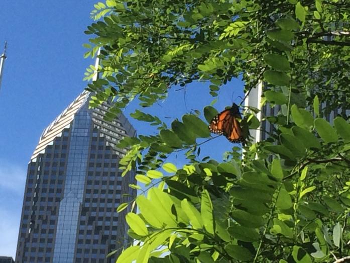 Monarch in Chicago